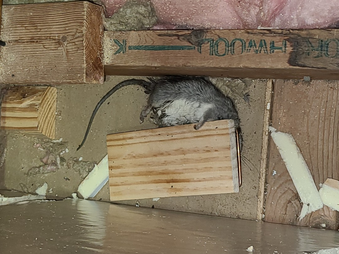 McAllen, TX - Rodent Maintenance, checking traps previously set