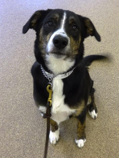 Cary, NC - Ellie came in to learn walk on a loose leash.