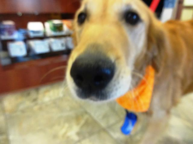 Garner, NC - Nala is a 5 year old Golden Retriever that is looking for a boost in confidence and increased desire to play. With some basic obedience we will get this pretty girl excited about life again as she settles into her forever home.