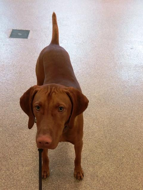 Garner, NC - Rebel had his first obedience lesson today. This great young Vizsla learned to walk on a loose leash.