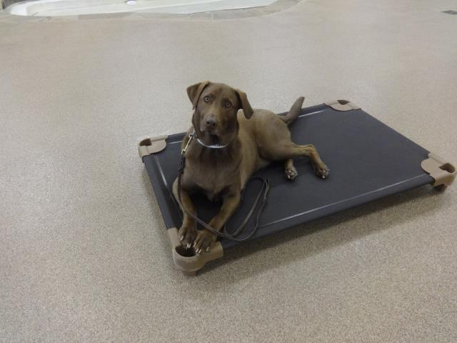 Fuquay Varina, NC - Hershey is in day two of private training while boarding.