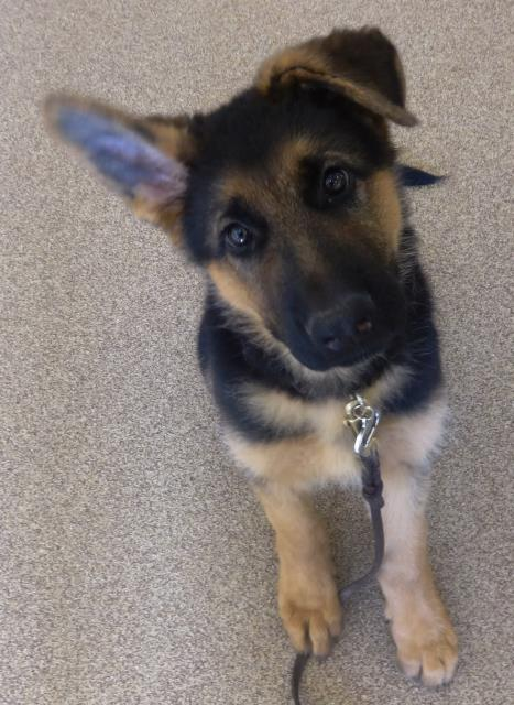 Fuquay Varina, NC - This 13 week old German Shepherd puppy had his first obedience lesson. His puppy training at home is now well under way.