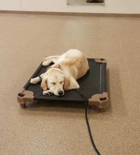 Raleigh, NC - Sunny is all tuckered out after her Stay & Learn follow up lesson. She trained with us for two weeks and has been home for a week now and doing well. She came in today for a little follow up and was a tired pup when our lesson was over.