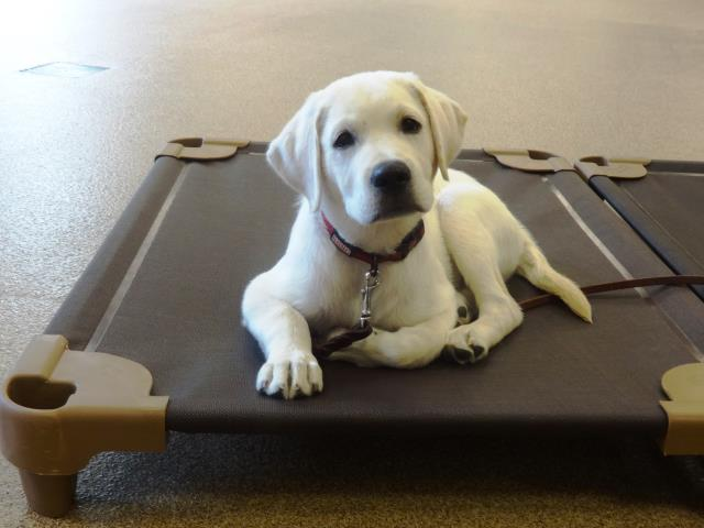 Wake Forest, NC - 12 week Calloway came in for puppy obedience training all the way from Wake Forest.