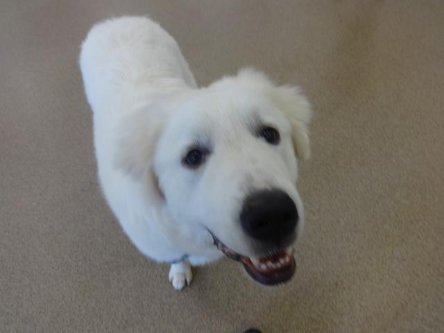 Cary, NC - Heidi came in for a training consultation about the best way to train her to come when called and stay nearby. A 6 month old Great Pyrenees, she will be a big girl.