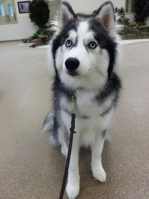 Fuquay Varina, NC - We welcome Kai to our Stay & Learn obedience training program today.