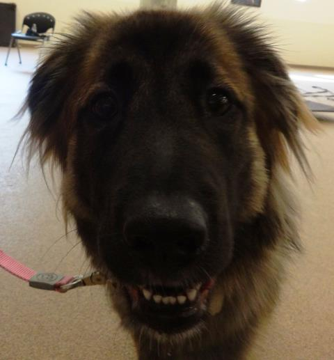 Cary, NC - Miyah came in for her first dog training session.
