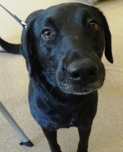 Wake Forest, NC - This little black lab came in for a training consultation to discuss her dog aggression.