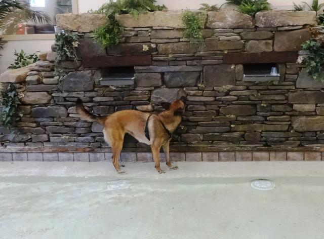 Garner, NC - Belgian Malinois Tally was in practicing her Nosework skills. We hid an odor source in the pond that she found!