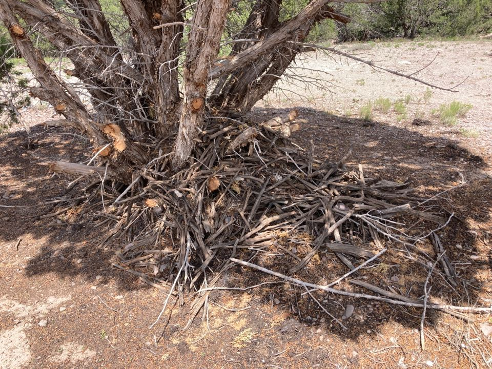 Chino Valley, AZ - Pack rats, rat nests, pest control poison-free