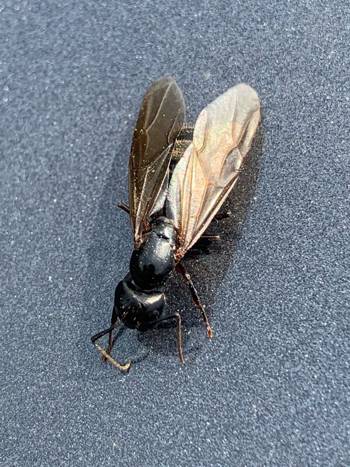 Marne, MI - Providing pest control service today for carpenter ants. This is a picture of a swarmer carpenter ant.