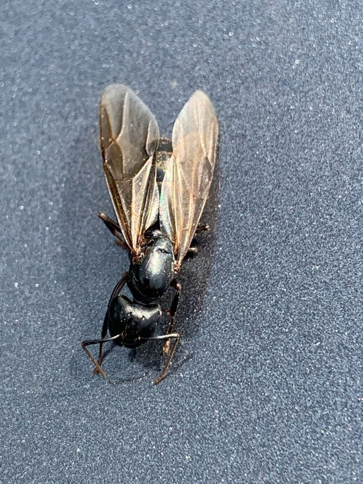 Ada, MI - This here is a carpenter ant swarmer. If you see these in your house you most likely have a carpenter ant problem.