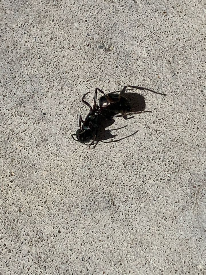 Rockford, MI - I sprayed under the siding on the front porch of a customers home for carpenter ants that were getting into the house. This big carpenter ant came out along with a bunch of others. I also treated the entire exterior perimeter of the house to keep out any future pests.