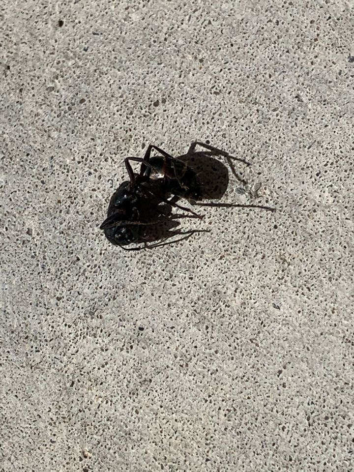 Grand Rapids, MI - Spraying for carpenter ants today. These big black ants can chew up wood and can cause problems in and around your house.