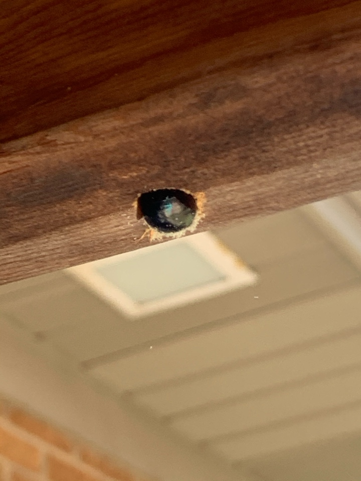 Grand Rapids, MI - Here's a picture of carpenter bee boring a hole into this wood. Many pest control companies don't solve the problem of carpenter bees but our exterminators get the job done right.
