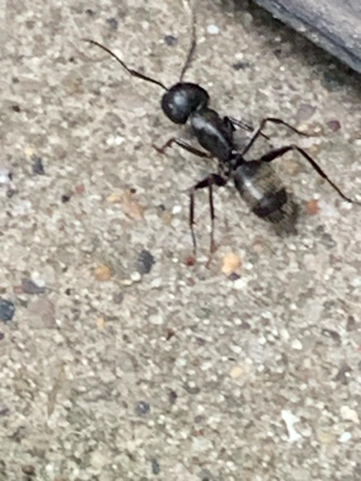 Grand Rapids, MI - Providing pest control services to take care of a carpenter ant problem.
