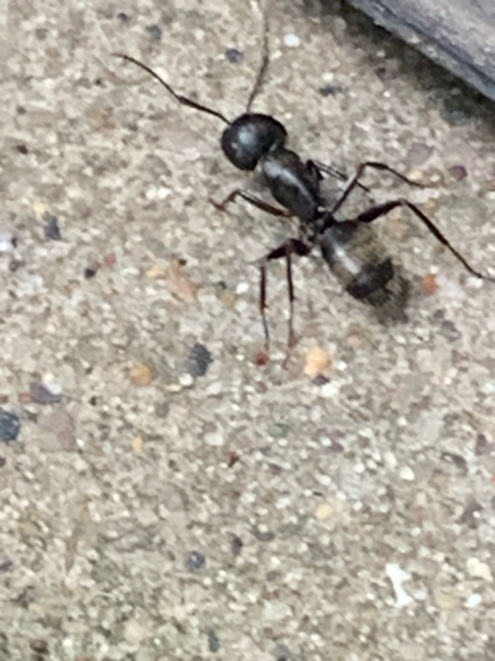 Ada, MI - Taking care of carpenter ants for a customer today that was seeing them inside and outside the house. Our pest control services are guaranteed to get the job done right and solve the problem.