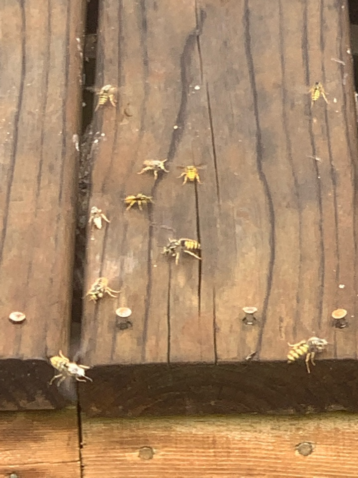 Cannon Township, MI - Just took care of another bee nest for a customer. This bees nest was underneath a deck on the back of the house.