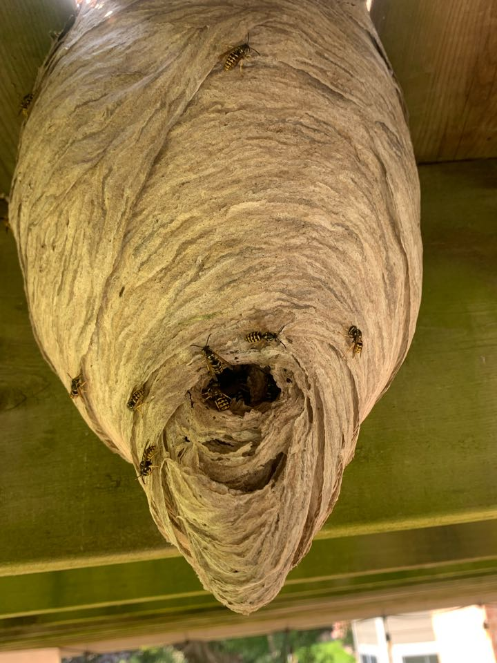 Grandville, MI - Getting rid of more pests today. This big wasp nest was under a deck that I just exterminated.