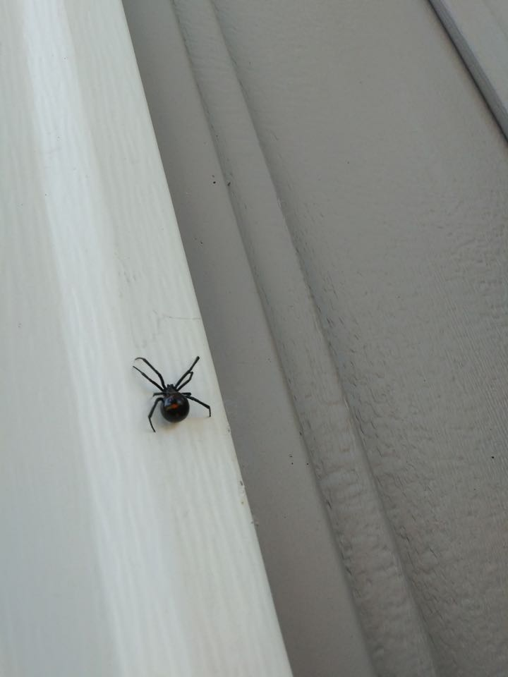 Grand Rapids, MI - A black widow spider was found at one of the houses we treated for spiders.