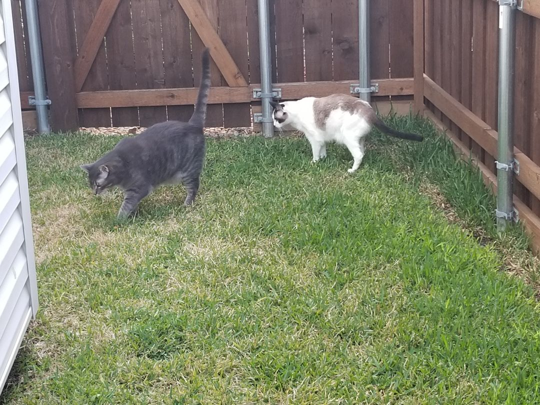 Carrollton, TX - VIP Petsitting, finished up service for two precious, sweet kitties named Little Bit and Little Gray.