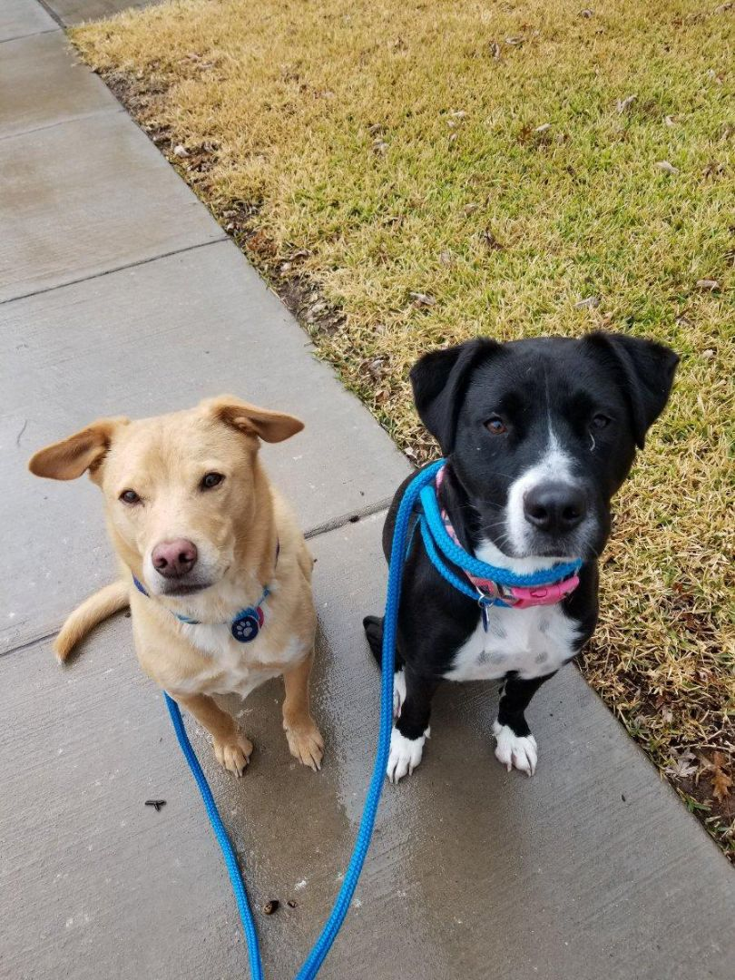 Carrollton, TX - VIP Petsitting, dog walk with Fred and Ethel. It was thundering and fire pouring 3/4th through the walk. Dogs and sitter are drenched.