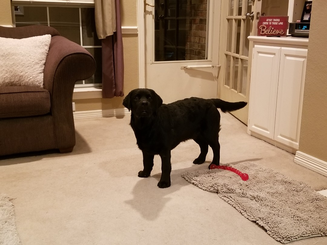 Dallas, TX - VIP Petsitting service for Callie,a sweet puppy who is growing so fast.
