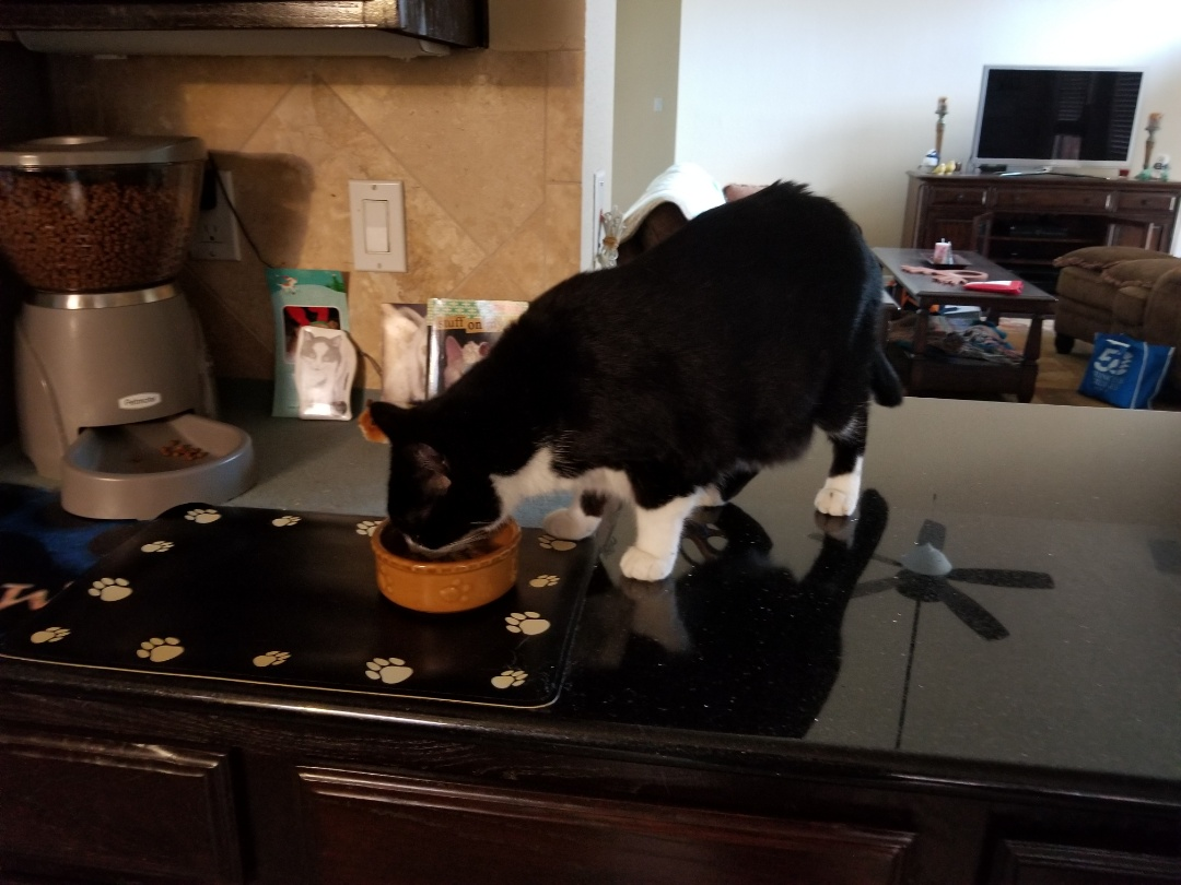 Irving, TX - VIP Petsitting for a sweet, precious kitty named Mr. Peabody.