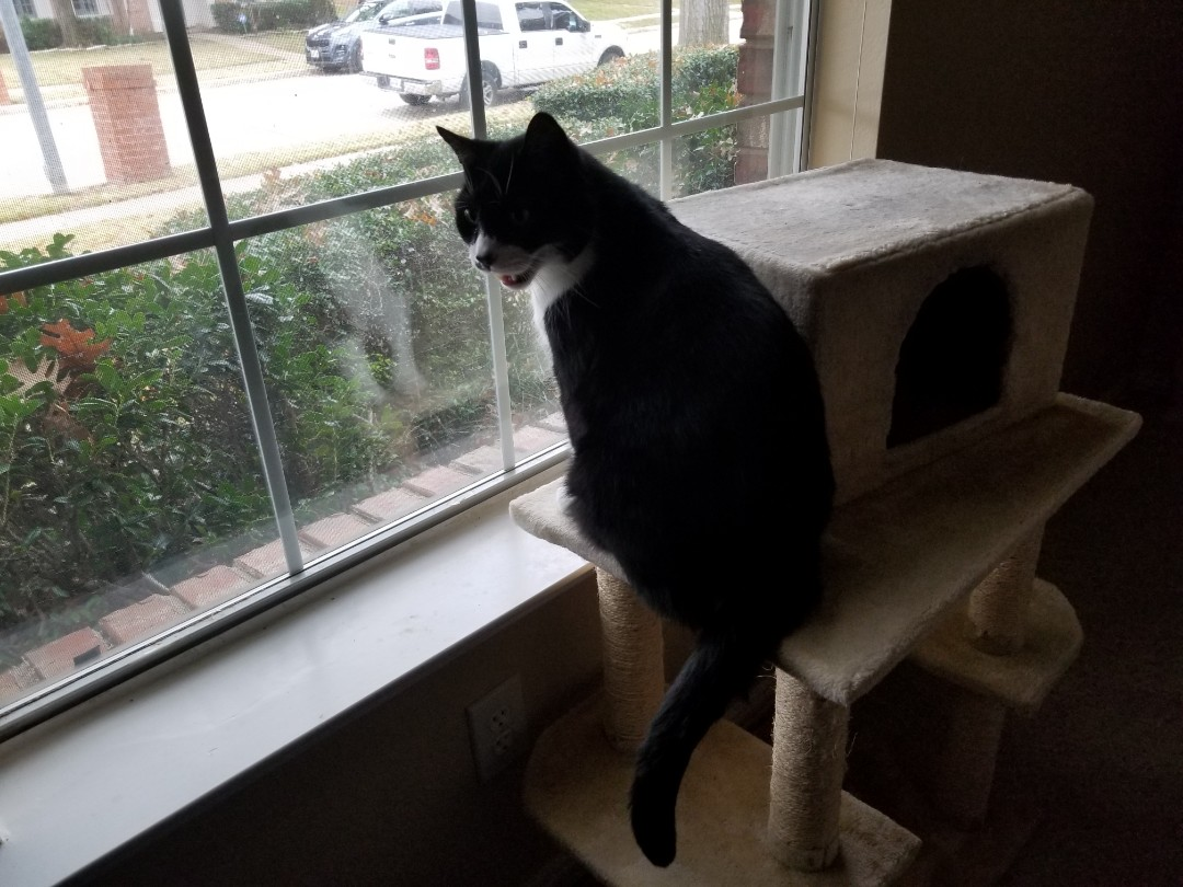 Irving, TX - VIP Petsitting, finished up service with a precious and very attentive kitty named Mr. Peabody.
