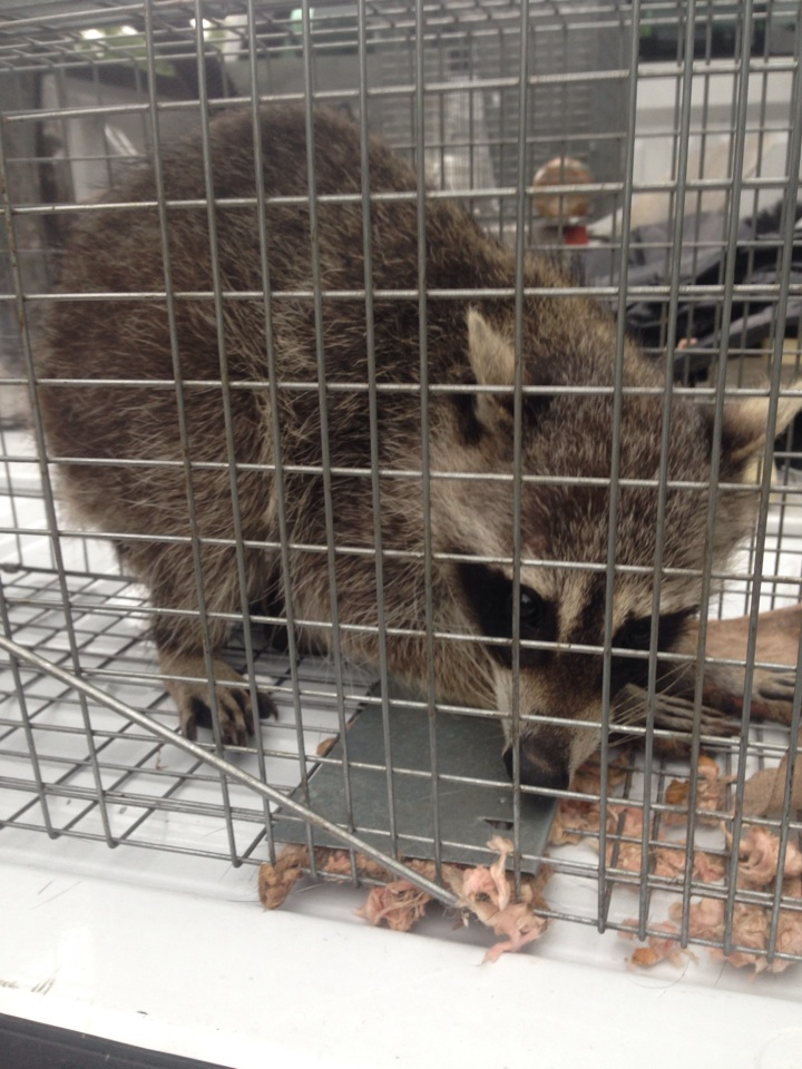 Frisco, TX - Rescuing a raccoon! Makes our company happy