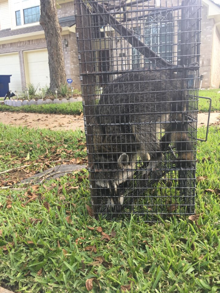 Missouri City, TX - Another successful raccoon removal from a residence.