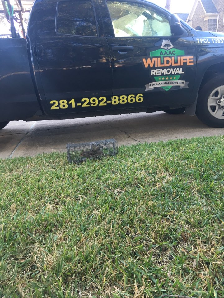 Katy, TX - Pulled squirrel from home we set up on yesterday