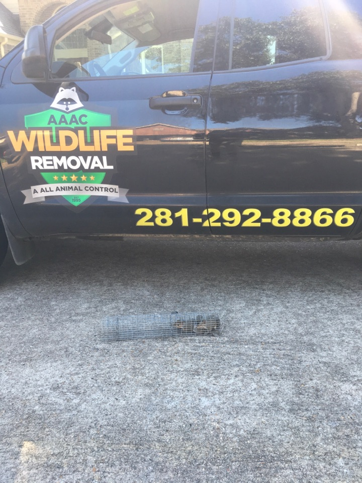Katy, TX - Removing two squirrel from attic of home