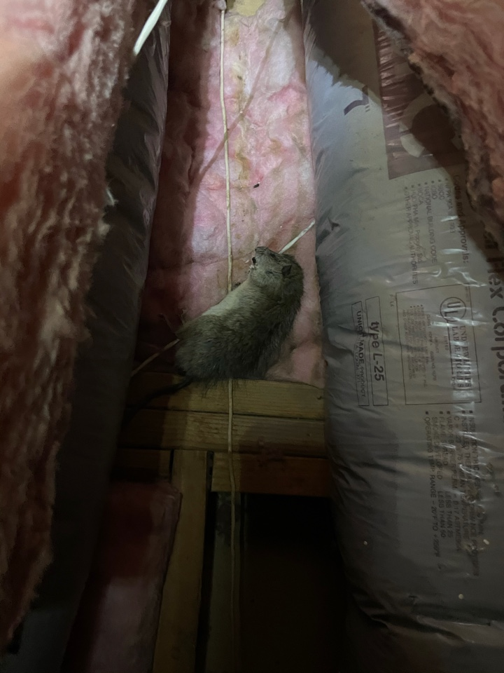 Rodent and termite activity found in the attic