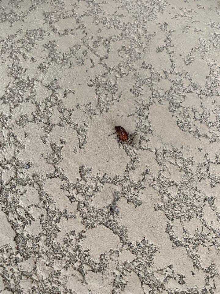 Treating seasonal beetles, ants and general pests
