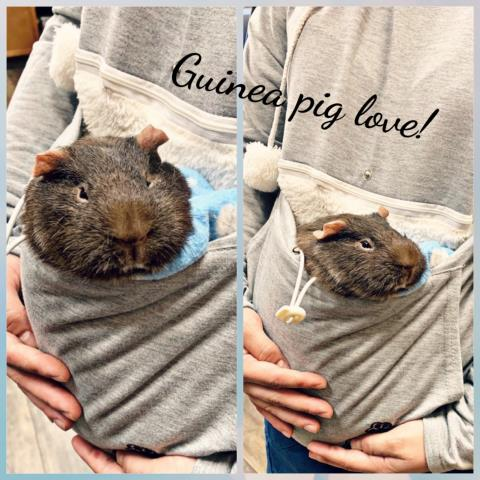 Koko getting cuddles after recovering from her guinea pig spay.  Dr. Sokoloff is the BEST exotics veterinarian in Pensacola!