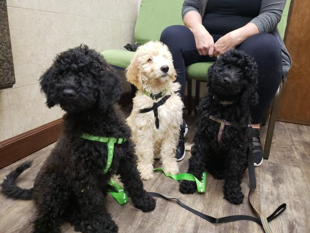 Pensacola, FL - Triple Trouble! Look at these best Doodles here at the veterinary office to get annual vaccinations!  We love our Pensacola Poodle-doodles!
