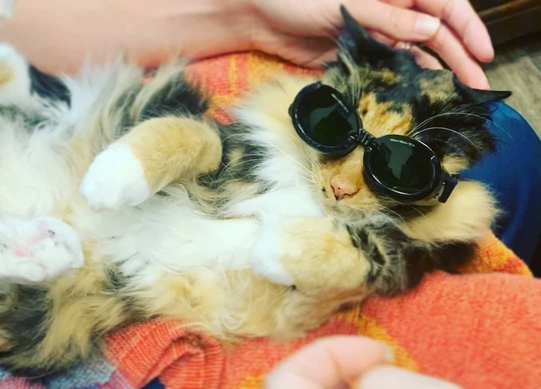 Pensacola, FL - Felix the cat, is enjoying his laser therapy here at Davis Animal Hospital!