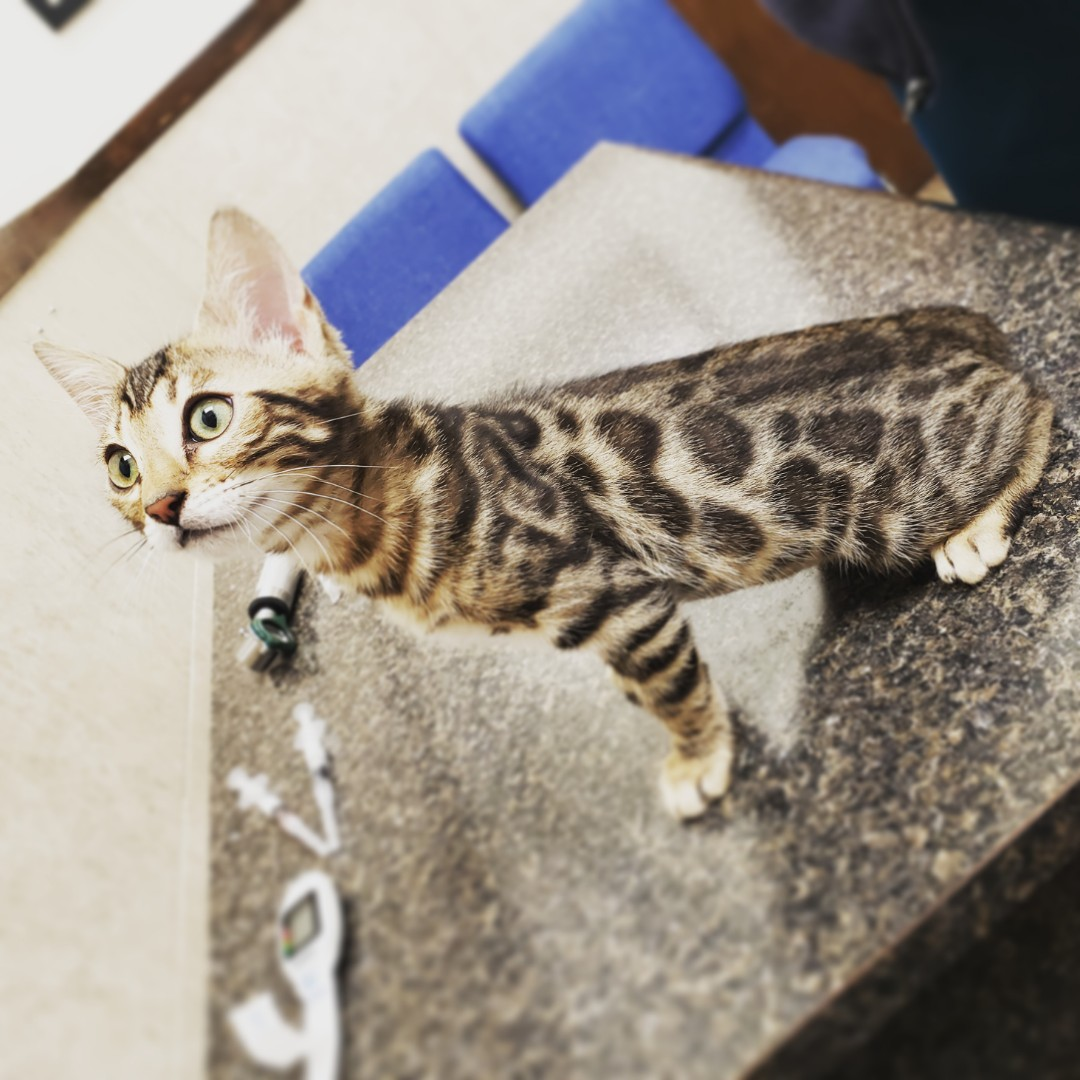 Pensacola, FL - Bengal kitten here for modeling, deworming and vaccines with Dr Erdos at the vet hospital!