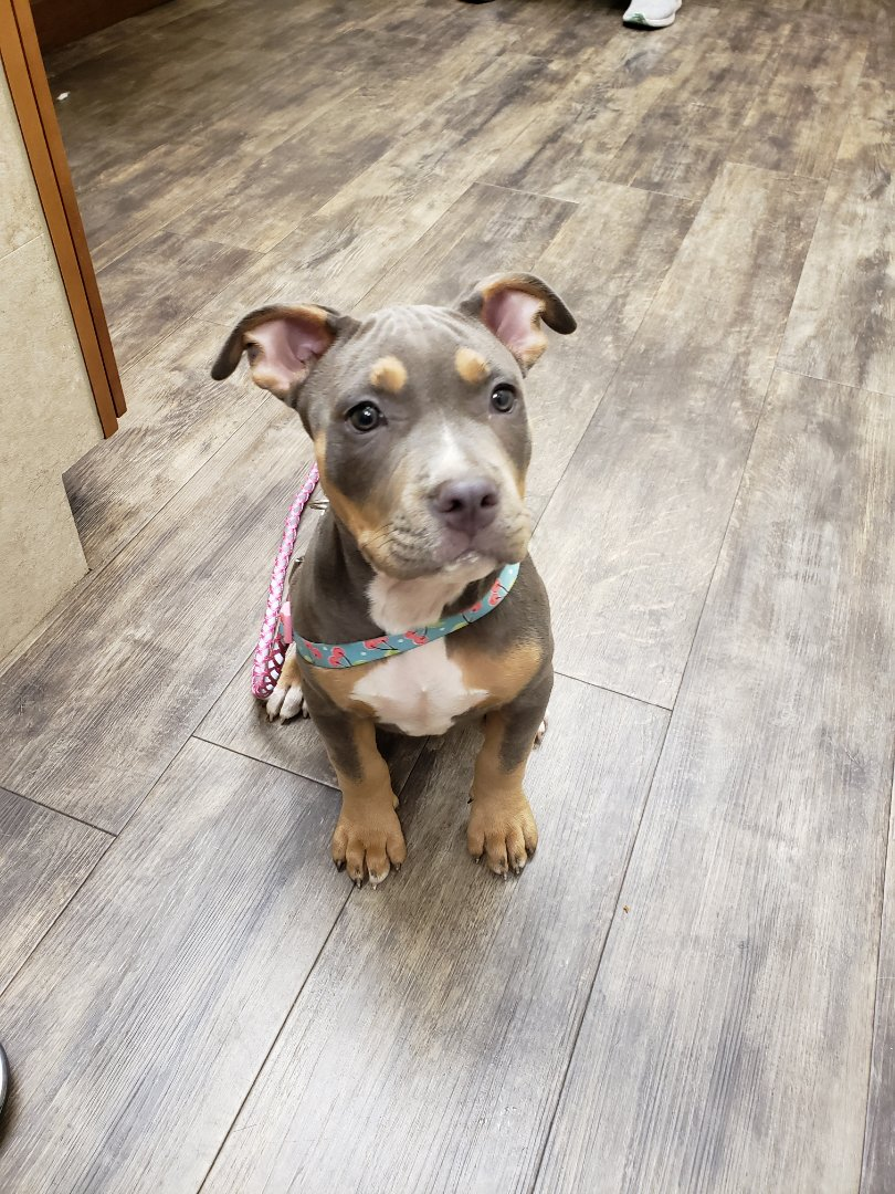 This pit bull puppy loves treats in trade for puppy vaccines and an exam at our veterinary clinic!