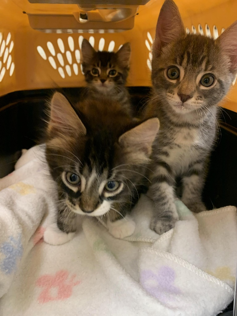 These cute kittens visited our vet hospital and are getting ready for adoption with vaccines and deworming for intestinal parasites.