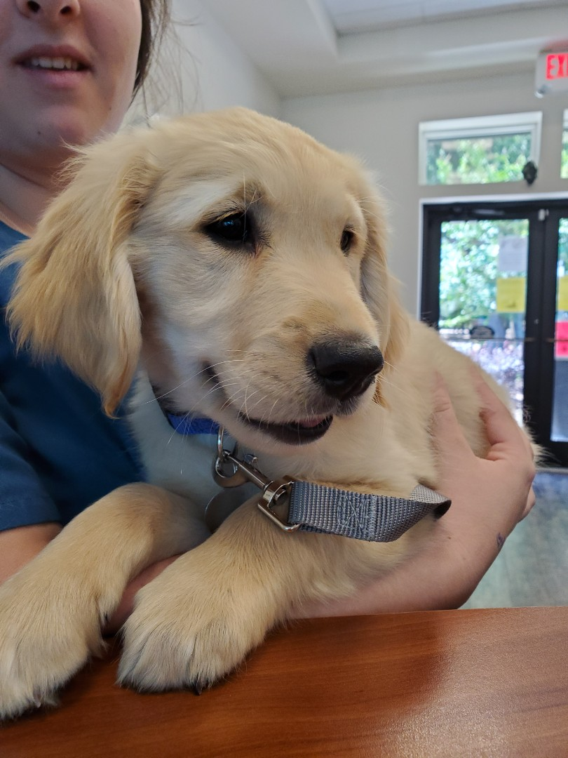 Patton, the sweet Golden Retriever, receiving some extra love after his appointment for his puppy vaccines and exam with the  veterinarian at Davis Animal Hospital.