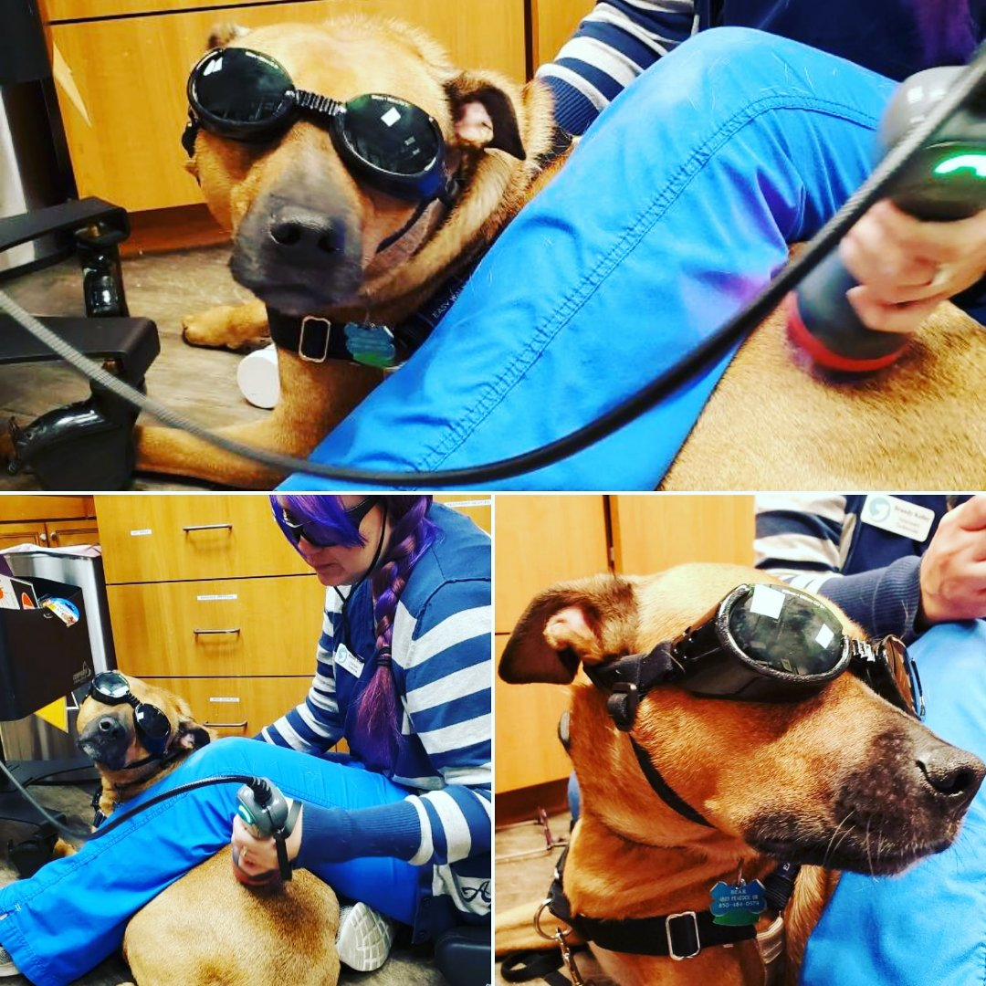 Laser therapy for Bear. Limping has gotten much better and hes able to move more comfortably!