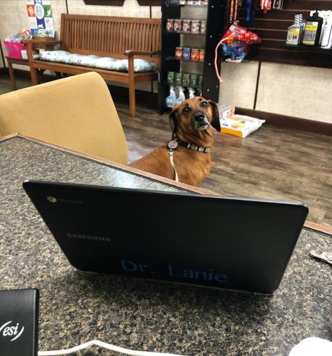 Buddy the Dachshund came to our vet clinic for his yearly vaccines, nail trim, and start his canine flu vaccination.  He is going to start dog boarding with us here in Pensacola.  He was a good doggo!