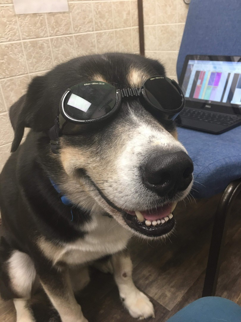 Hercules received a laser therapy treatment at the animal hospital for a lick granuloma. He was such a good boy!