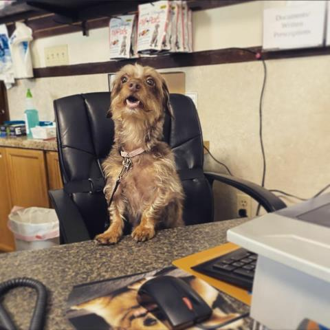 Pixie the dachshund mix is helping call owners during our veterinary curbside service!  She came in for an establishment exam with our animal hospital team.
