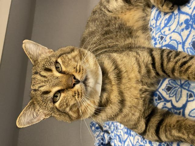Pensacola, FL - Tabby the Cat is here with us in our Cat Boarding, BUNGALOWS!! Relaxing his biscuit makers while looking majestic, Tabby agrees that Davis Pet Hotel is the place to be for a relaxing and fun loving time! He loves his blankets and toys but most definitely enjoys the CATNIP.