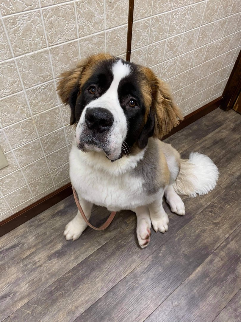 Isn't Harley the cutest! He came to visit us at the animal hospital to update his exam and was sent home with his year supply of Heartgard and Nexgard.