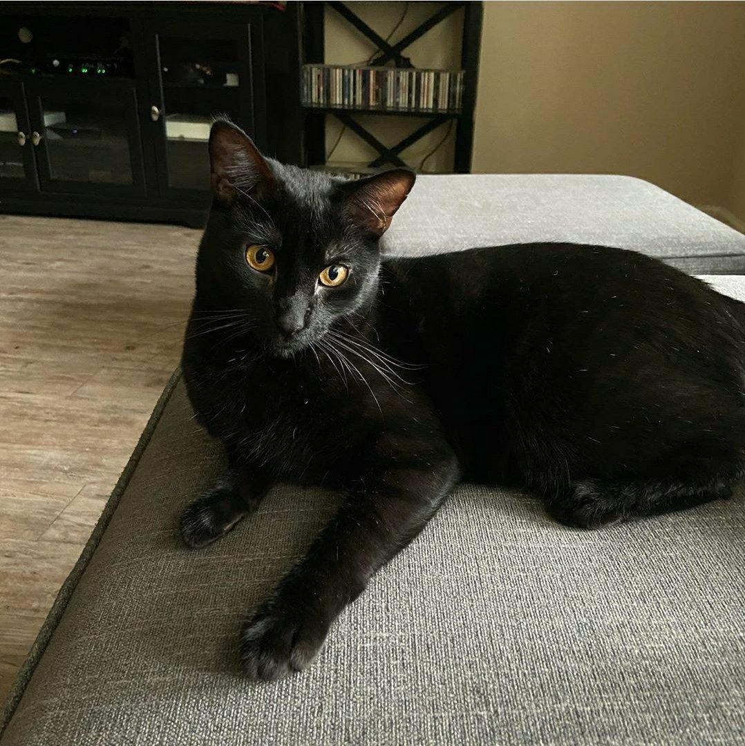 Since it is Spooky Season, let's feature our black kitties! Ninja is a year old spunky cat. He loves to wrestle and play. His favorite activity is chasing paper wads and batting them under the furniture!