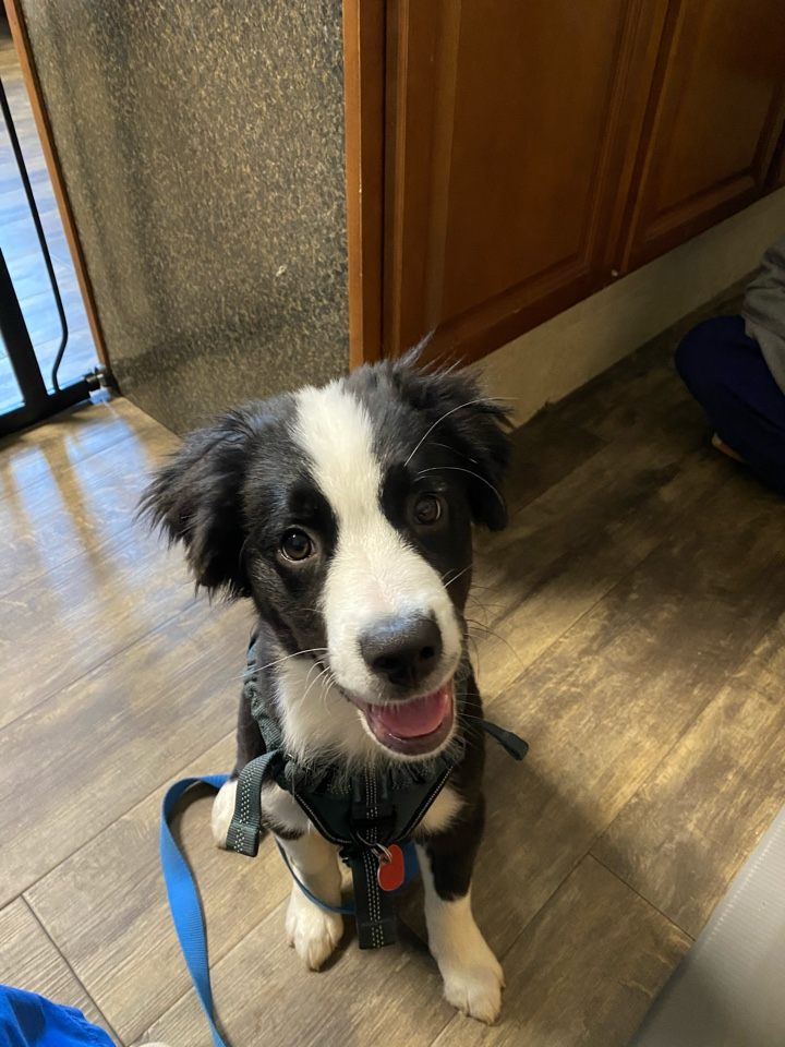 Sherlock is totally ready for his puppy boosters with Dr Lanie!